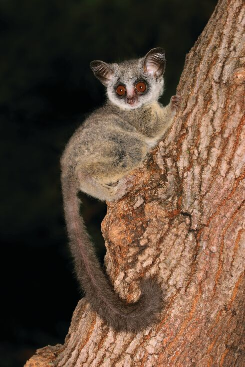 Image of bushbaby in African bush at night, fauna in Africa