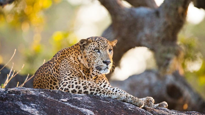 A big cat of Yala National Park resting in the shade