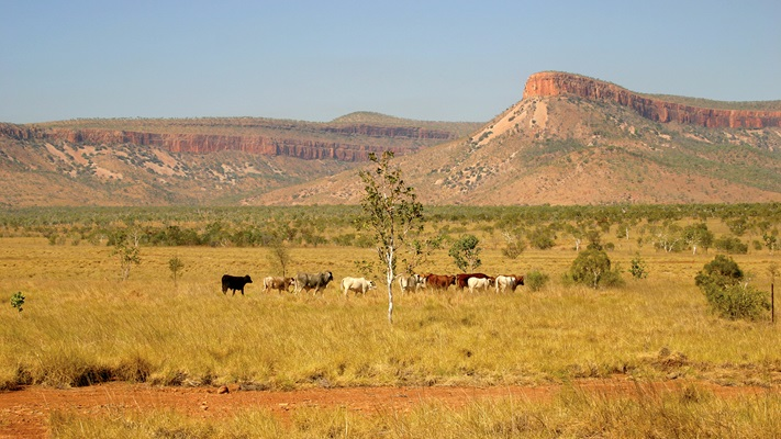 Cattle grazing in remote bushland, El Questro, WA