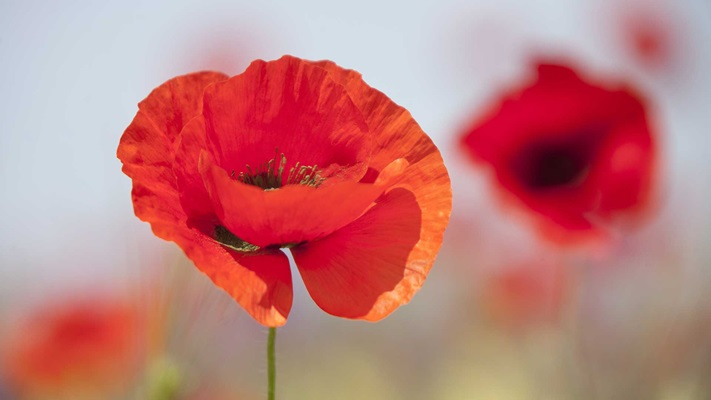 Red poppy with some blurred poppies in background, Australia